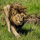 Male Lion, Ngorongoro Crater, Tanzania, Africa by Sue Ratcliffe