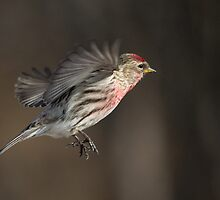 Redpoll takeoff by Jan Timmons