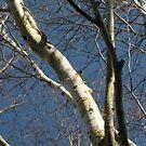 Silver Birch by millymuso