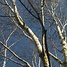 Birch Silver by millymuso
