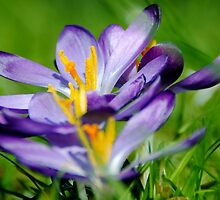 Crocus Focus by Photography  by Mathilde