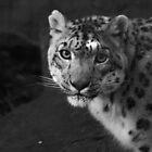 Snow Leopard by Sarah Mokrzycki