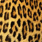 Cheetah iPhone Case by Ryan Dell