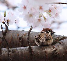 Sparrow Perches in a Sakura Tree by mikeofthethomas