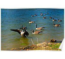 Geese Sitting on Lake Poster