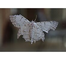 Albino Moth.... Photographic Print