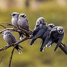 Black-faced Woodswallows by Doug Cliff