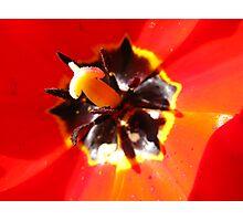 Tulip #2 Photographic Print