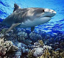 TIGER SHARK Galeocerdo cuvier (POSTER VERSION) by DilettantO