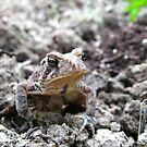 American Toad #2 by Stephen Oravec
