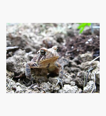 American Toad #2 Photographic Print