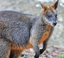 Wallaby 4131 by Tom Newman