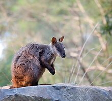 Rock Wallaby by margotk