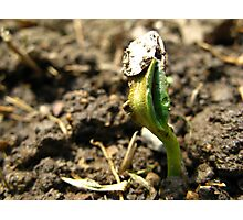 Sunflower Seedling Photographic Print