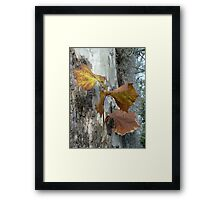 Sycamore gold Framed Print