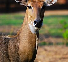 The Antelope Look by Ravi Chandra