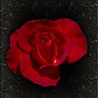November Rose by Elaine Teague