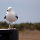 Herring Gull by Sandy Woolard