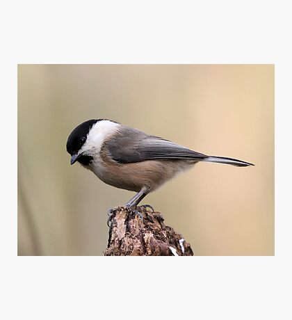 Willow Tit  Photographic Print