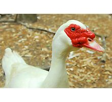 Mr Muscovy Photographic Print
