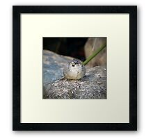 Posing House Sparrow on a Rock Framed Print