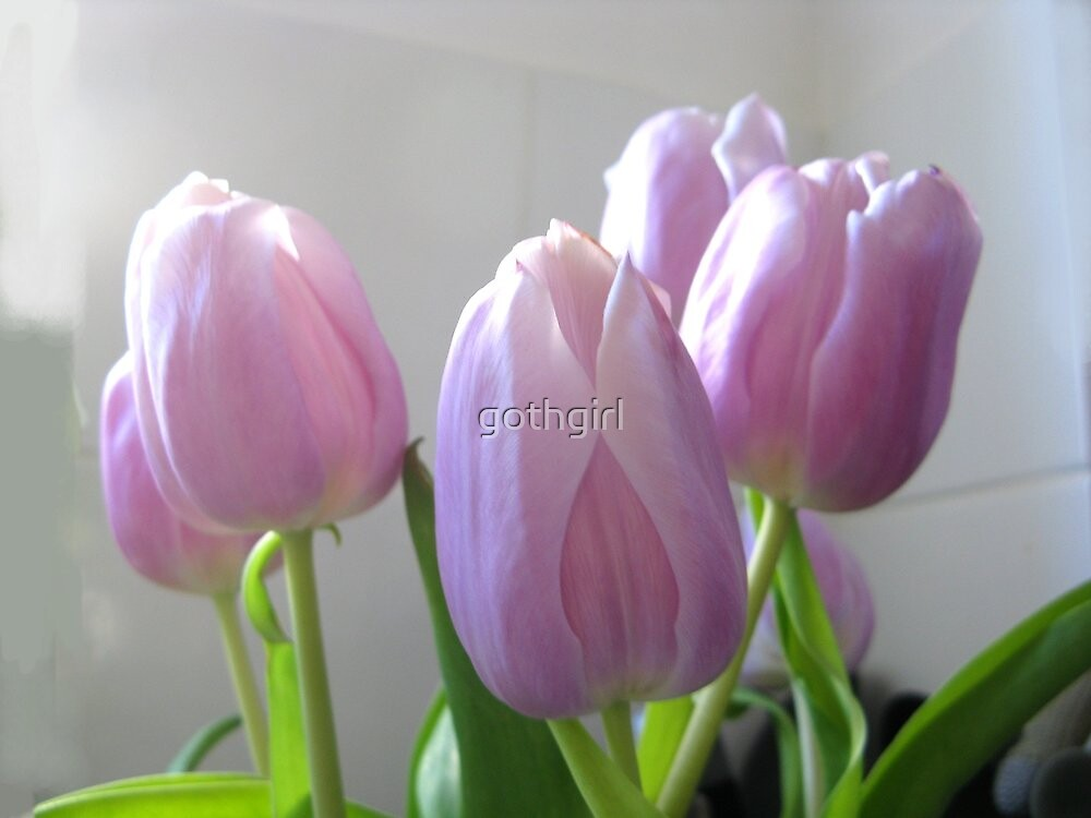 PINK TULIPS by gothgirl