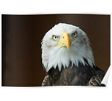 The stare of the Bald Eagle Poster