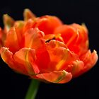 Tulip Flame by Theresa Elvin