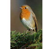 Red robin sat on a branch Photographic Print