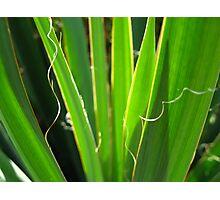 Yucca Photographic Print