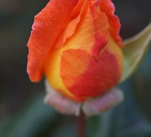 Rose Bud by Sheryl Marshall