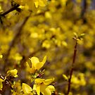 Yellow Flowers in Spring by LaurelMuldowney