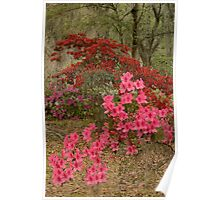 The Azaleas In Bloom Poster
