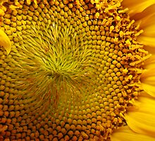 Sunflower by Stephen Oravec
