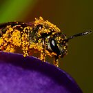 Bee on Spring Crocus #2 by Kane Slater