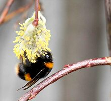 First pollen of spring by missmoneypenny