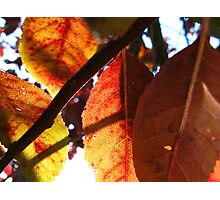 Purple Leaf Plum Photographic Print