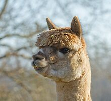 Alpaca Looking Left by Sue Robinson