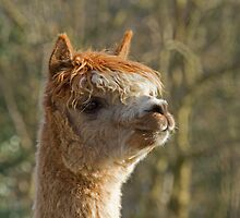 Alpaca Looking Right by Sue Robinson