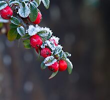 Red Berries With Frost by Sue Robinson