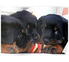 Three Rottweiler Puppies Playing Tug Poster