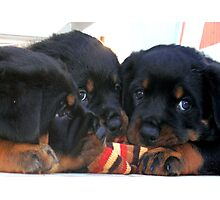 Three Rottweiler Puppies Playing Tug Photographic Print