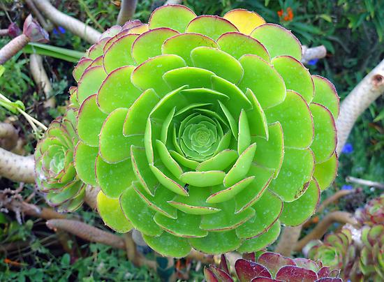 Monterey Aeonium  by Robert Meyers-Lussier