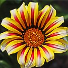 Gazania by Chet  King