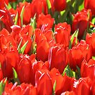 MIFGS - Red Tulips - One by Sammy Nuttall