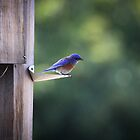 Blue Bird by LawrencePhoto