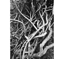 Vines at Mt Coot Tha Botanic Gardens Photographic Print