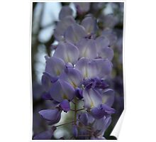 Purple and Violet Wisteria Blossom Poster