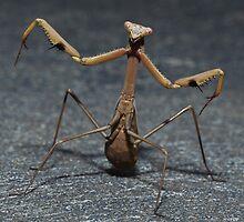 Praying Mantis  by Colin  Ewington