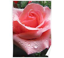 Pink Rose with Dew  Poster